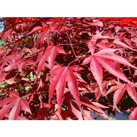 """Acero Rosso Giapponese """"Acer Palmatum Atropurpureum"""" in vaso ø13 cm"""