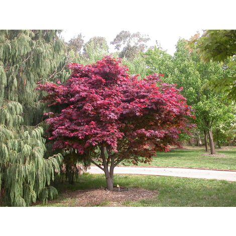 10 pezzi scomparti acero Phoenix inverno duro Acer palmatum Phoenix in vaso