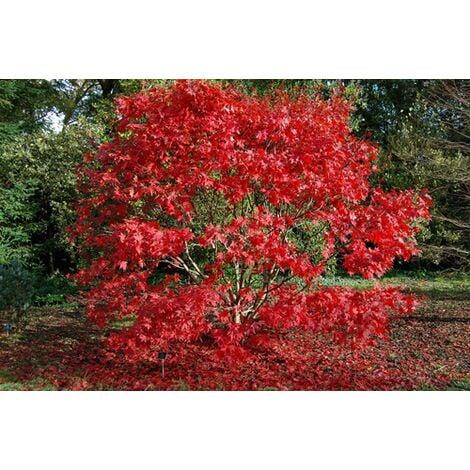"""Acero Rosso Giapponese """"Acer Palmatum Autumn Red"""" in vaso ø20 cm h.60/80 cm"""