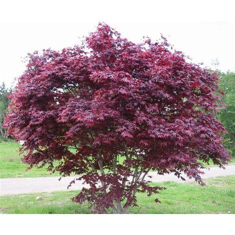 """Acero Rosso Giapponese """"Acer Palmatum Bloodgood"""" in vaso ø20 cm h.60/100 cm"""