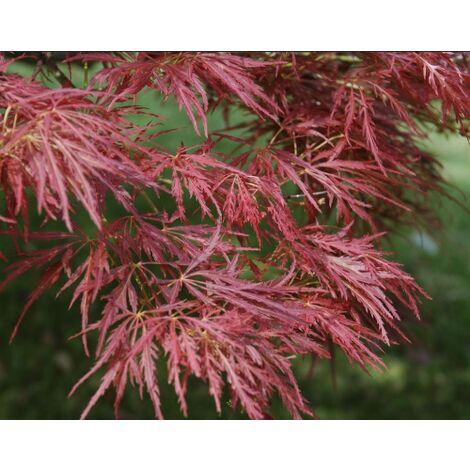 Acero Rosso Giapponese Acer Palmatum Dissectum Atropurpureum Stella