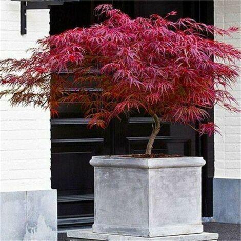 """Acero Rosso Giapponese """"Acer Palmatum Dissectum Firecracker"""" in vaso ø20 cm"""