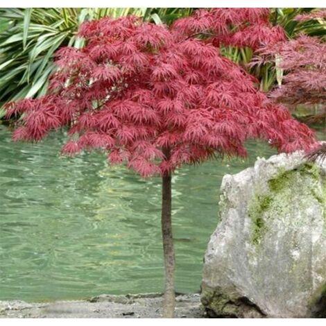 """Acero Rosso Giapponese """"Acer Palmatum Dissectum Garnet"""" in vaso 2 Litri"""