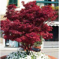 "Acero rosso giapponese ""acer palmatum fire glow "" in vaso Ø 20"
