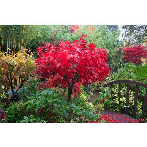 "Acero Rosso Giapponese ""Acer Palmatum Osakazuki"" in vaso 10 Litri"