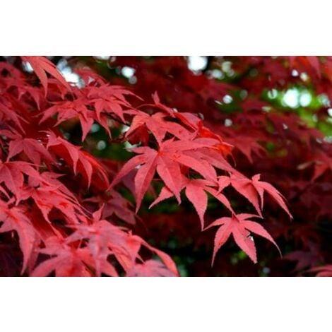 """Acero Rosso Giapponese """"Acer Palmatum Red Flash"""" in vaso ø18 cm"""
