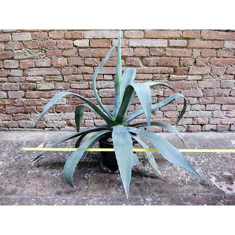 Agave americana var. americana 110 cm, cactus, pianta grassa winter hard, resistente fino a -5° C