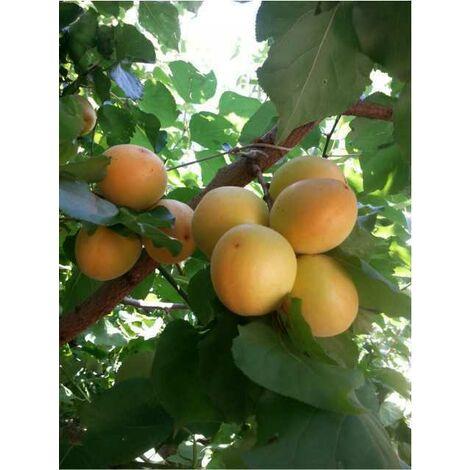 Alberi da frutto albicocca varietà d'imola dolce pianta da frutta albicocco
