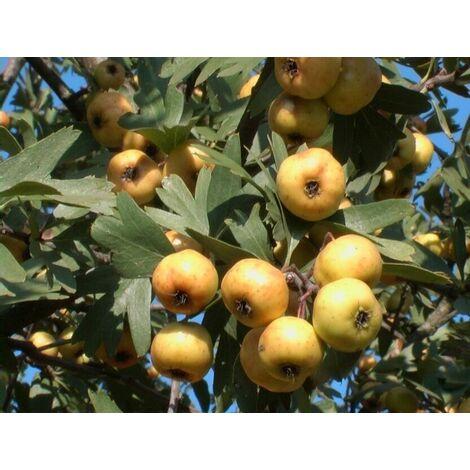 Alberi da frutto Azzeruolo Piante da frutta azzeruolo albero