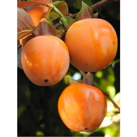Alberi da frutto caco mela pianta da frutta cachi mela kako kaki albero