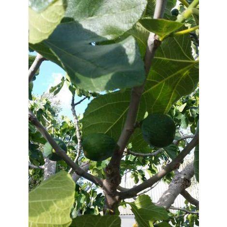 Alberi da frutto Fico Fiorone pianta da Frutta DIVERSE VARIETA' DA SCEGLIERE
