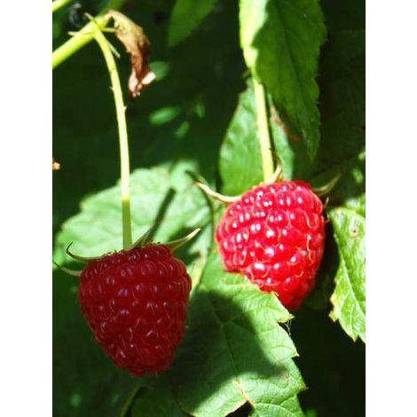 Alberi da frutto lampone pianta da frutta lampone rosso