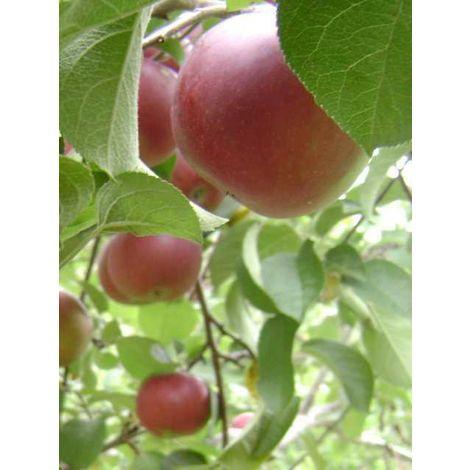 Alberi da frutto Melo Mela Albero da Frutta DIVERSE VARIETA' DA SCEGLIERE