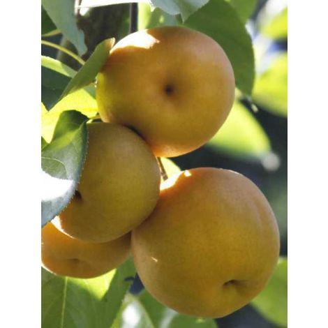 Alberi da frutto nashi pianta di nashi albero da frutta nashi pero