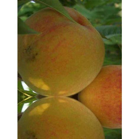Alberi da frutto percoco percoca albero da frutta percoche pianta di pesca