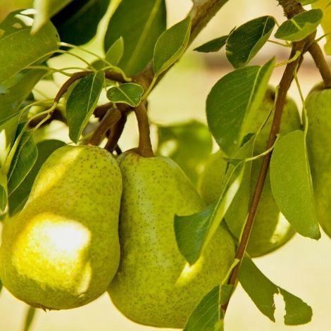 Alberi da frutto Pero Pera Albero da Frutta DIVERSE VARIETA' DA SCEGLIERE