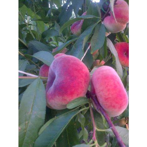 Alberi da frutto pesca piatta saturnina tabacchiera platicarpa albero da frutta