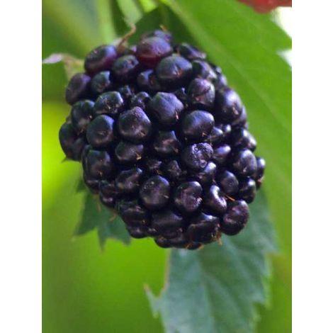 Alberi da frutto pianta di more albero da frutta altezza 140-160 cm