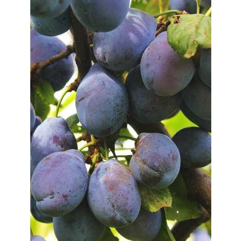 Alberi da frutto Pianta Frutto Susino Susina Albero da Frutta DIVERSE VARIETA'