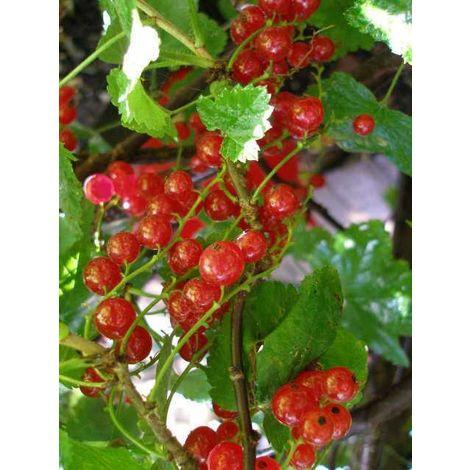 Alberi da frutto ribes rosso albero di ribes albero da frutta altezza 120-130cm