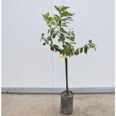Albero Di Limone Fitocella, Altezza 160cm