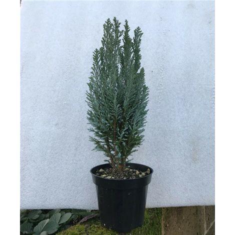 Albero Di Natale 50 Cm.Albero Di Natale Reale Naturale Pino Verde Alto 40 50 Cm