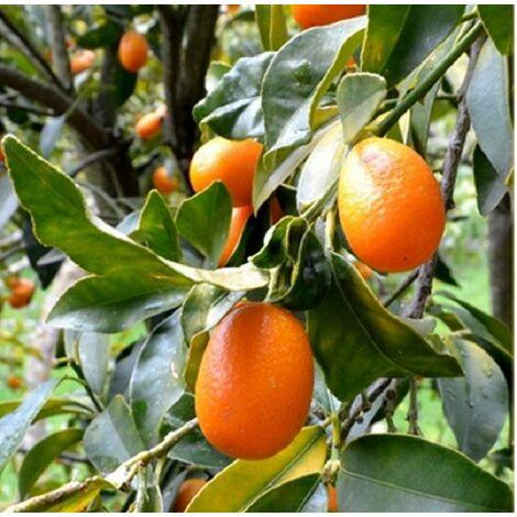Albero Kumquat
