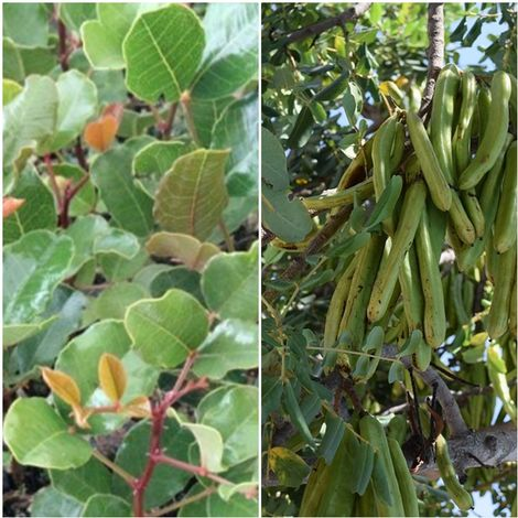 Algarrobo (Ceratonia Silicua). Altura: 100 - 120 Cm