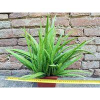 Aloe vera var. chinensis caespitosa 40 cm, cactus, pianta grassa