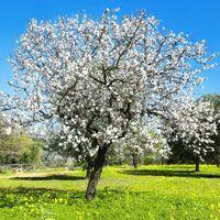 Amandier (Prunus Amygdalus) - Godet - Taille 13/25cm