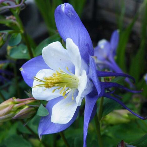 Ancolie 'Blue Star' (Aquilegia 'Blue Star') - Godet 8cm