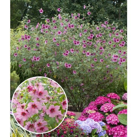 ANISODONTEA - OFFRE SPÉCIALE : lot de 2 pots - Arbres et Arbustes d'ornement