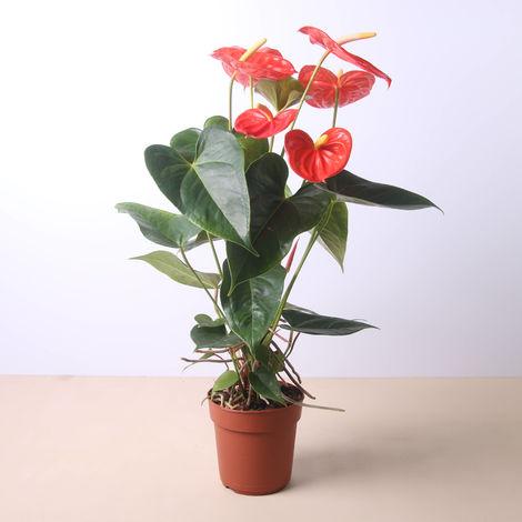 Anthurium 50 cm - Envío gratuito