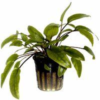 Aquarium Pflanze Cryptocoryne wendtii 'Green' Wasserpflanzen Tropica Topf Nr.109