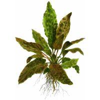 Aquarium Pflanze Cryptocoryne wendtii 'Tropica' Tropica Nr.109E