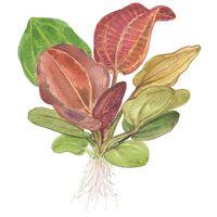 Aquarium Pflanze Echinodorus 'Reni' rot Tropica Nr.072D
