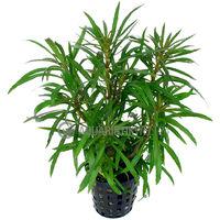 Aquarium Pflanze Pogostemon stellata Tropica Nr.053G