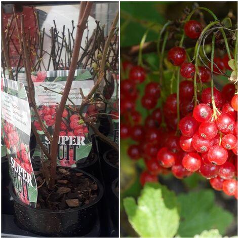 Arandano Rojo. Vaccinium Corymbosum PINK Lemonade. 25-30 Cm