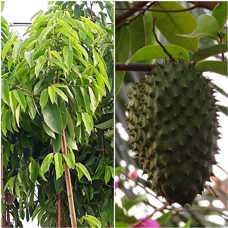 Arbol de Guanabana, Altura Planta +190 Cm, Annona Muricata