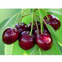 Arbol Frutal Cerezo Burlat. Cerezas Tempranas. 120 - 150 Cm