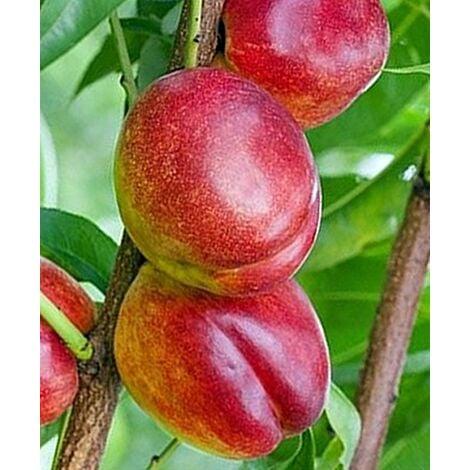 Arbol Frutal Nectarino Flavortop. Nectarina Carne Amarilla. 120 - 150 Cm