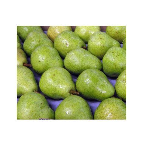 Arbol Frutal Peral Willians. Pera Grande. 120 - 150 Cm
