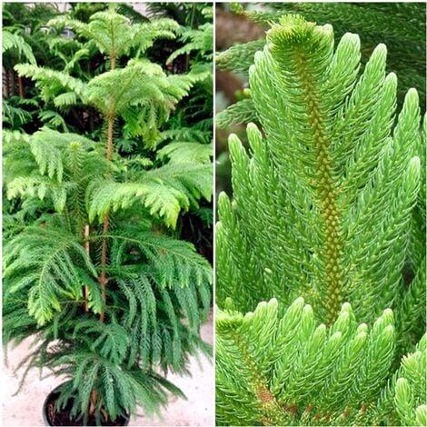 Arbol Natural Araucaria. Pino Chileno. Ideal para Navidad y Ornamental. 130 Cm