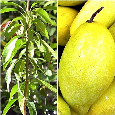 Arbol Planta Frutal Mango Variedad Ataulfo. 100 - 110 Cm