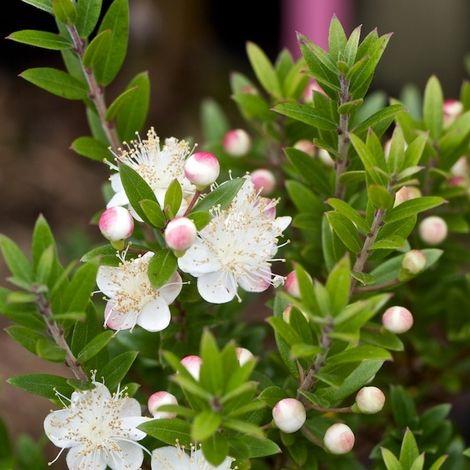 Árboles y arbustos de flor