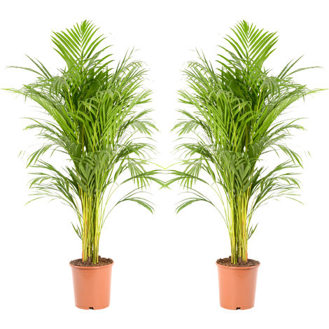 Areca dypsis lutescens Ø 21 x H. 110cm | Offre Duo