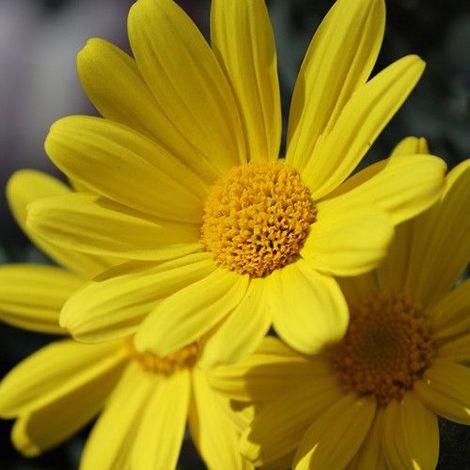 Argyranthemum frutescens - Margarita de colores - Maceta de 5Litros - 40cm de altura - Amarilla