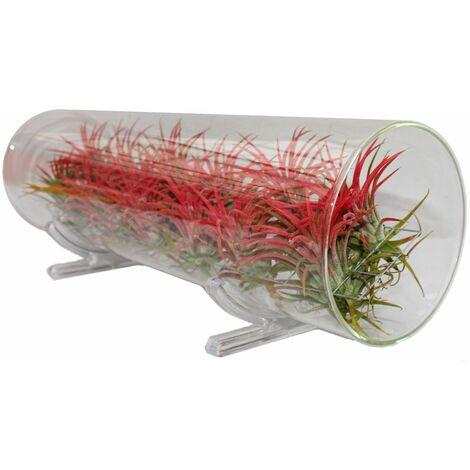 Arrangement tillandsia, 12 plantes rouges dans le tube de verre