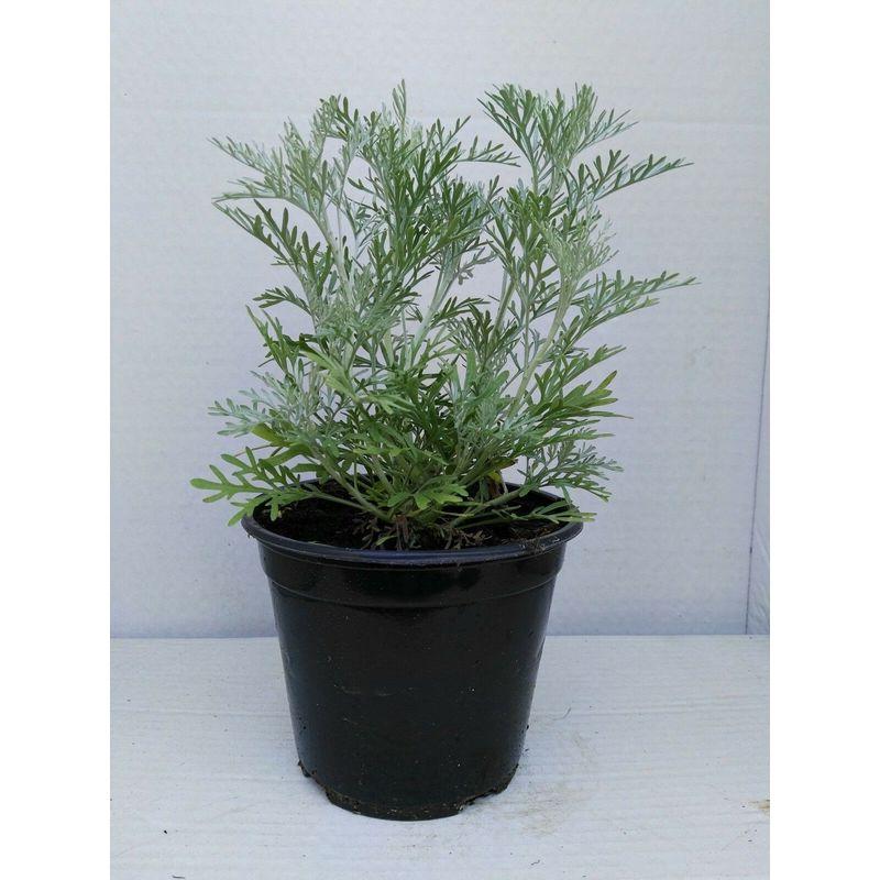 Vasi Piante Aromatiche.Artemisia Absinthium Vaso 14 Piante Aromatiche Erbe Aromatiche Pianta Aromatica