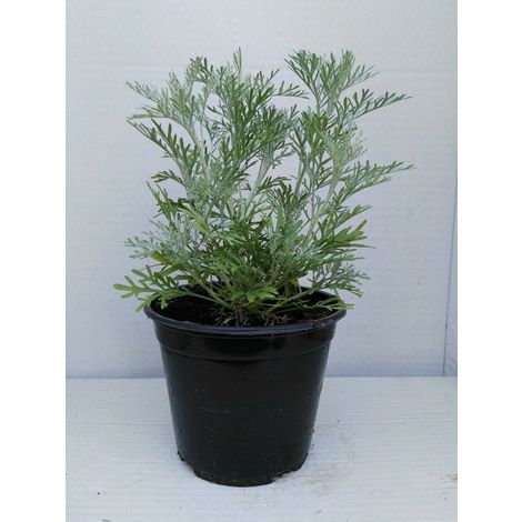 Artemisia absinthium vaso 14 piante aromatiche erbe aromatiche pianta aromatica